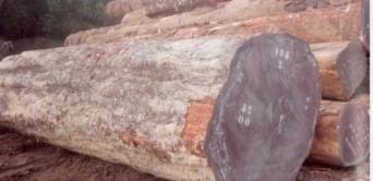 Le trafic de bois au Gabon est estimé à plusieurs milliards de francs