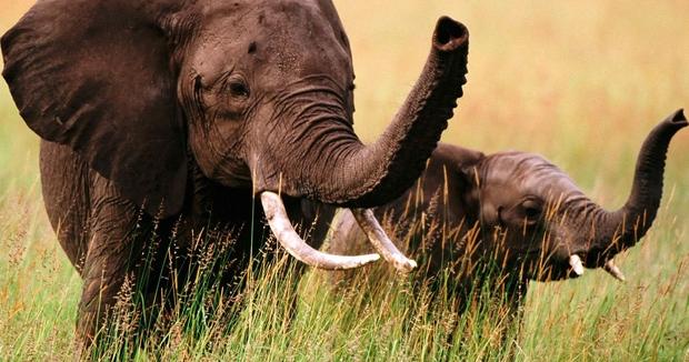 Le Gabon s'élève contre le braconnage des éléphants