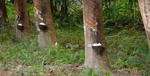 Le caoutchouc, porteur d'emploi au Gabon