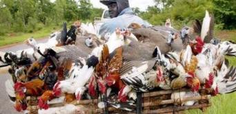 Grippe aviaire : le Gabon interdit l'importation de volaille du Cameroun