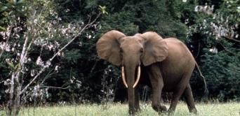 Ali Bongo annonce un plan de gestion du conflit homme-faune