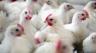 Grippe aviaire : volailles françaises interdites