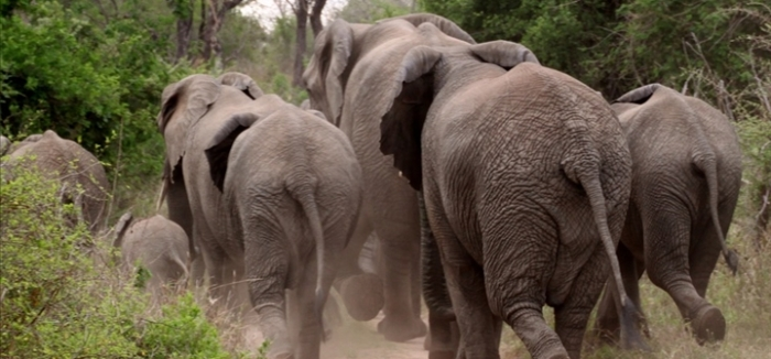 Des colliers électroniques sur les éléphants pour piéger les braconniers