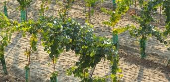 Malymas : l'unique vin d'Afrique centrale est gabonais