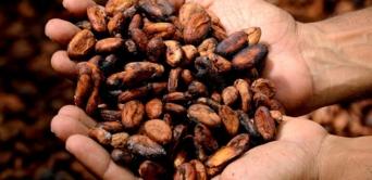 Les conditions météorologiques défavorables touchent plus que prévu la production de cacao du Ghana